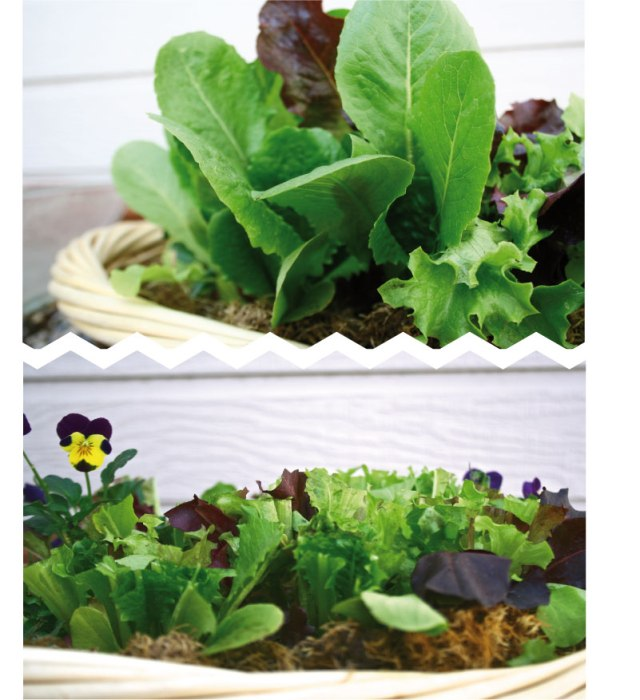 lettuce-pictures